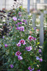 Purple Pillar Rose of Sharon Shrub Next to Fence
