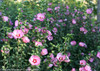 Ruffled Satin Rose of Sharon Branches Stems and Flowers