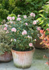 Sugar Tip Rose of Sharon in Garden Planter