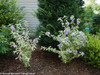 Sugar Tip Gold Rose of Sharon in the Landscaping
