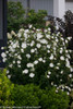 White Chiffon Rose of Sharon Shrub Covered in Flowers