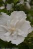 White Chiffon Hibiscus Flower