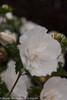White Chiffon Rose of Sharon Flower Petals