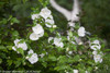 White Chiffon Rose of Sharon Foliage and Blooms