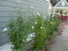 White Pillar Rose of Sharon Shrubs in Landscaping