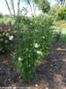 White Pillar Rose of Sharon Shrubs Under the Tree