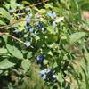 Yezberry Solo Haskap Berries on Stem