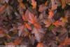 Coppertina Ninebark Fall Foliage