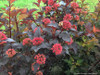 Ginger Wine Ninebark Shrub With Red Blooms