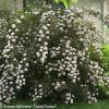 Summer Wine Ninebark Shrub Covered in Flowers