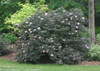 Large Black Beauty Elderberry Bush
