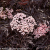 Black Lace Elderberry Leaves and Pink Flowers