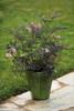 Small Black Lace Elderberry in Garden Planter