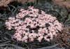 Black Lace Elderberry Flowers Close Up