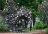 Large Black Lace Elderberry Shrubs Flowering