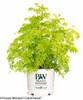 Lemony Lace Elderberry in Proven Winners Pot