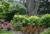 Lemony Lace Elderberry in the Flower Garden Under the Tree