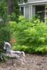 Lemony Lace Elderberry in the Front Yard