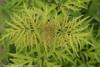 Lemony Lace Elderberry Leaves