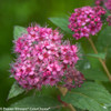 Double Play Artisan Spirea Flowers Close Up