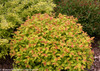 Double Play Artisan Spirea With Fall Foliage