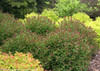 Double Play Artisan Spirea Mass Planting
