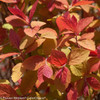 Double Play Big Bang Spirea With Red Leaves