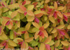 Double Play Big Bang Spirea Leaves Turning Color in the Fall