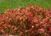 Double Play Big Bang Spirea with Fall Foliage