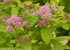 Double Play Big Bang Spirea Leaves and Flowers