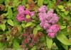 Double Play Big Bang Spirea Foliage and Blooms