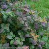 Double Play Blue Kazoo Spirea Foliage