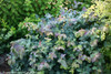 Double Play Blue Kazoo Spirea Shrub