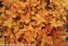Double Play Candy Corn Spirea Fall Foliage