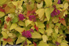 Double Play Candy Corn Spirea Shrub Leaves and Flowers
