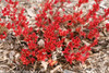 Double Play Candy Corn Spirea With Red Leaves in the Spring