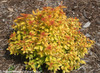 Double Play Candy Corn Spirea With Yellow Leaves in the Fall