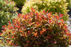 Double Play Doozie Spirea Fall Foliage