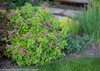 Double Play Gold Spirea Blooming in the Garden
