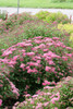 Double Play Pink Spirea Shrub