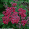 Double Play Red Spirea Flowers and Foliage