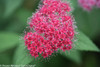 Double Play Red Spirea Flower Close Up