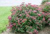 Double Play Red Spirea Shrub Covered in Flowers