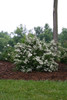 Wedding Cake Spirea Blooming Under a Tree