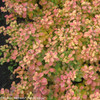 Glow Girl Spirea Turning Colors in Fall