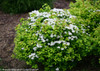 Glow Girl Spirea Shrub Flowering