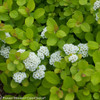 Glow Girl Spirea Leaves and Blooms