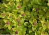 Glow Girl Spirea Foliage and Flower Buds