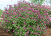 Bloomerang Dark Purple Lilac Shrub