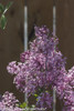Bloomerang Purple Lilac Bush With Flowers